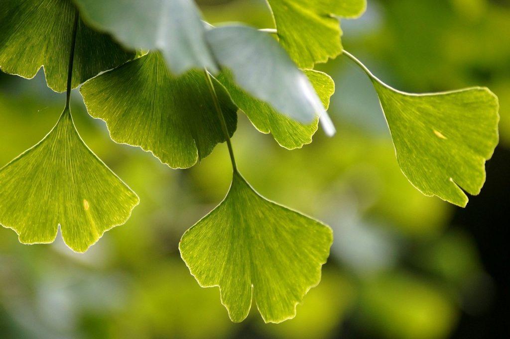 Gambar 4. Gingkophyta. Sumber: https://pixabay.com/photos/ginkgo-gingko-biloba-leaves-green-3750276/