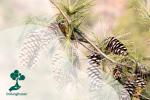Mengenal Tumbuhan Gymnospermae
