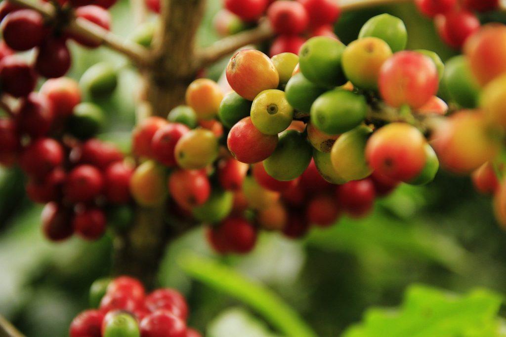 Gambar 1. Tanaman Kopi. Sumber: https://pixabay.com/photos/coffee-grains-mature-agriculture-1474601/