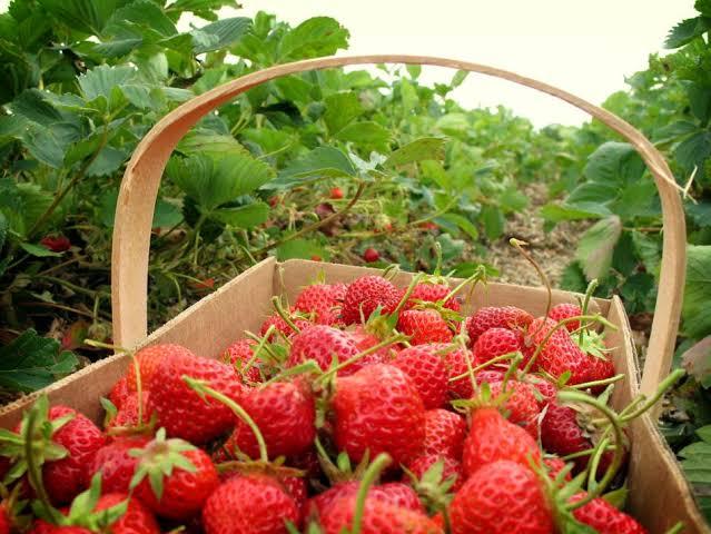 Gambar 3. Kebun Strawberry Lembang. Sumber: https://tempatwisatadibandung.info/harga-tiket-masuk-kebun-strawberry-lembang-bandung/
