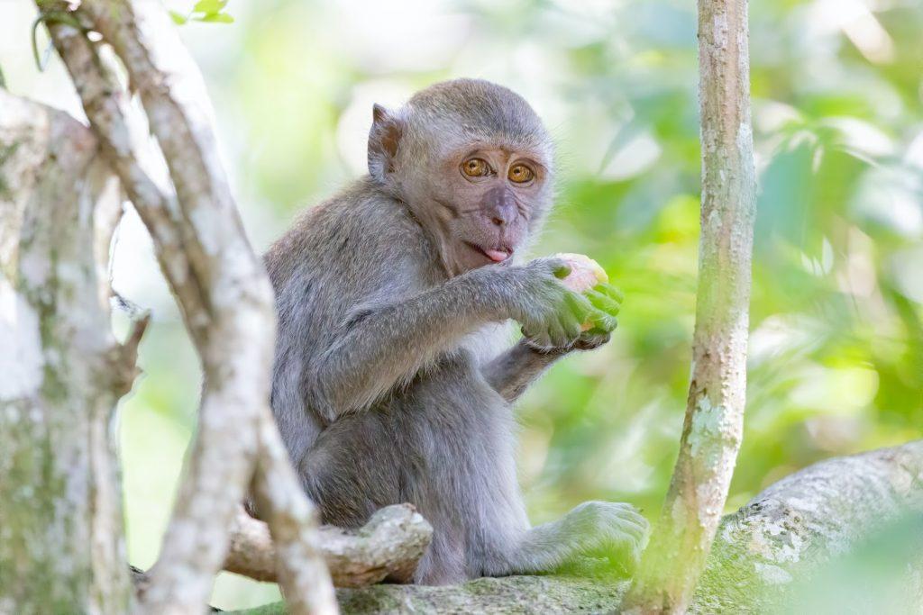 Gambar 3. Aktivitas Makan Monyet Ekor Panjang