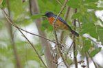 Burung Baru: Penemuan di 'Tanah yang Hilang' Wallacea