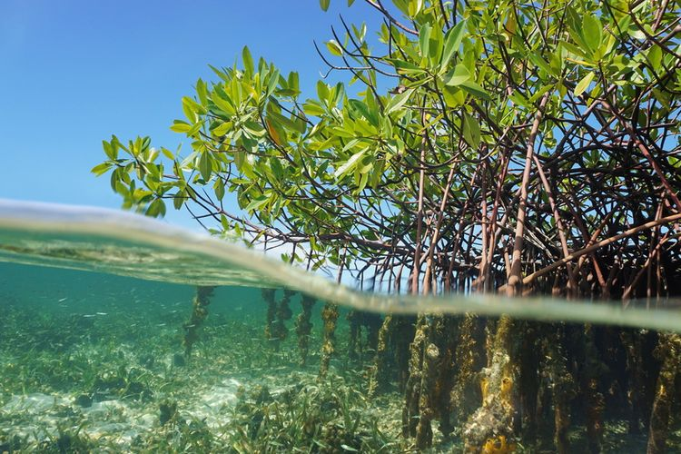 Gambar 1. Ekosistem Mangrove (Sumber Kompas.com)