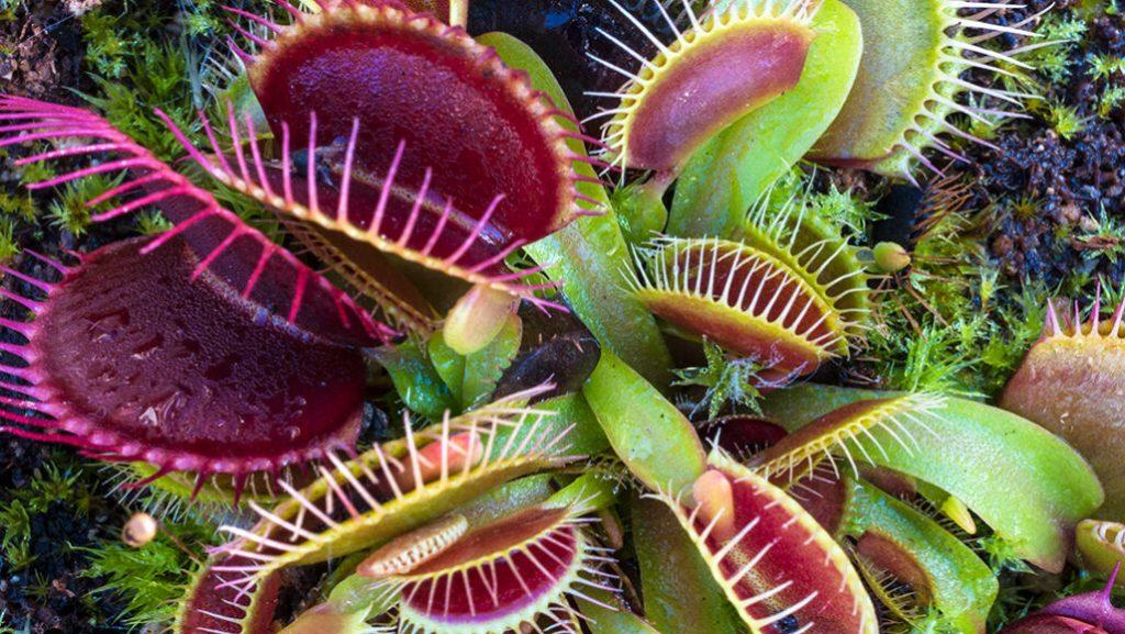 Gambar 5. Venus Flytrap. Sumber: https://www.sciencenews.org/article/how-venus-flytraps-store-short-term-memories-prey