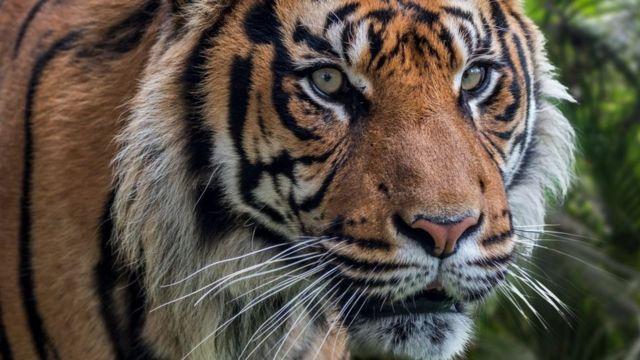 Gambar 3. Harimau Sumatera. Sumber: ichef.bbci.co.uk