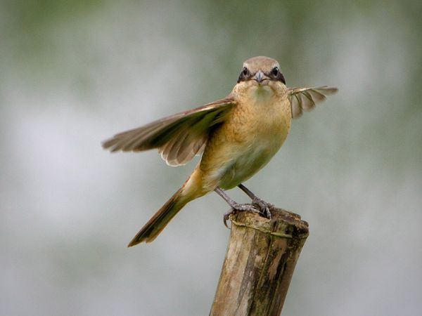 Burung Penyanyi © National Geographic/Ralf Nabong