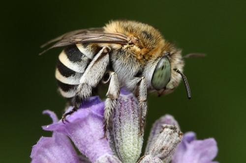 Amegilla albigena (Photo credit: Philippe Vanmeerbeeck, galerie-insecte.org)