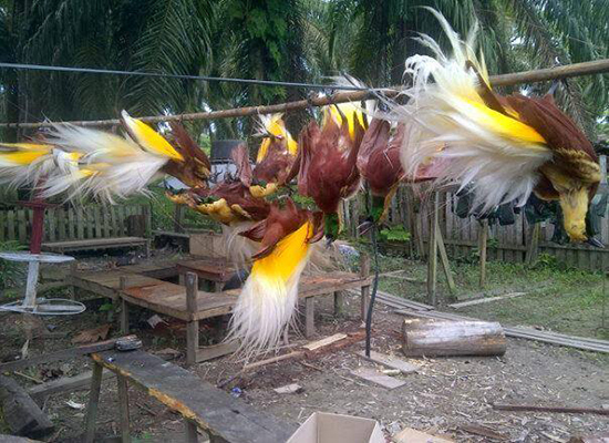 Gambar 6. Burung Cenderawasih Terus Diburu. Sumber: kabarpapua.co