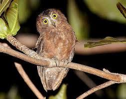 Gambar 8. Burung Hantu Celepuk Siau