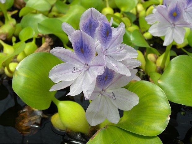 Tanaman Air Eichhornia crassipes aka Eceng Gondok. Sumber: illinoiswildflowers.info