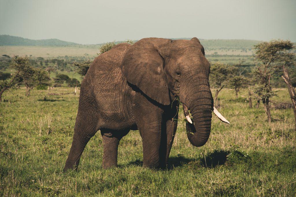 Gambar 2. Gajah Sumatera, Satwa yang Banyak Mengalami Kematian di Aceh