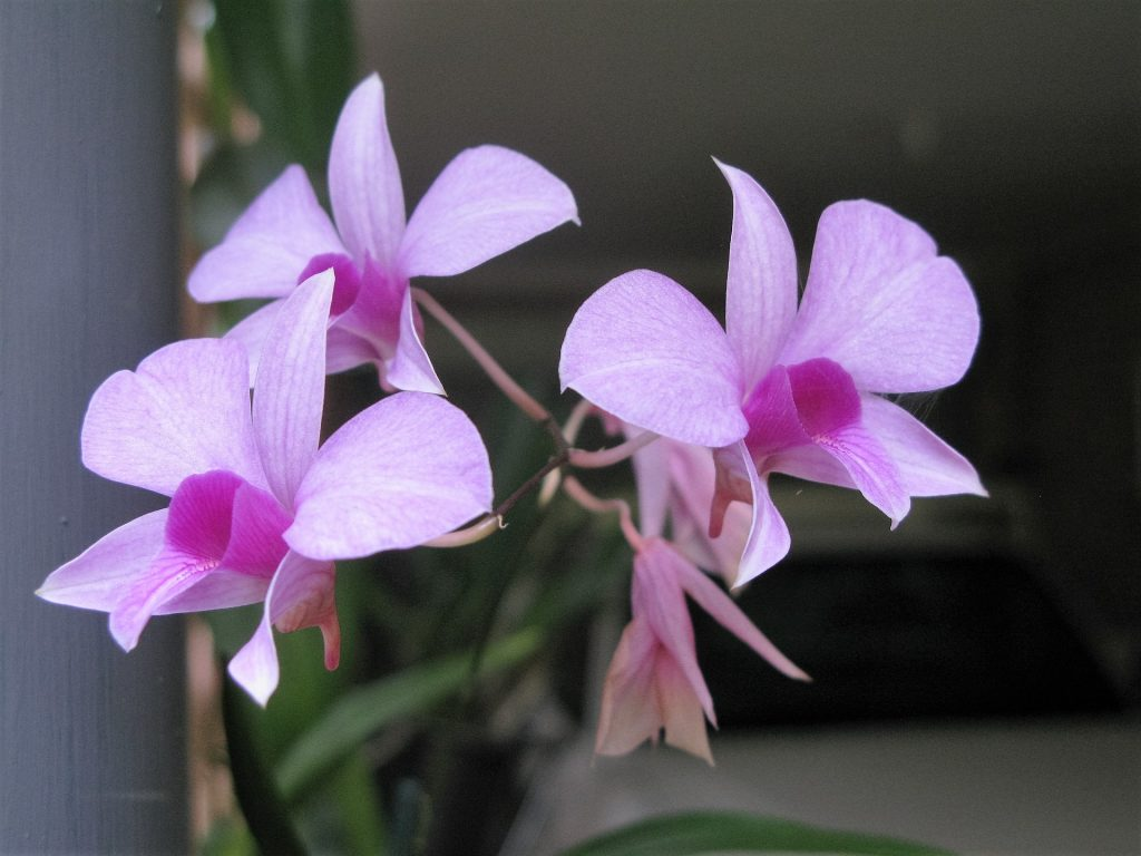 Gambar 1. Cooktown Orchid Flowers