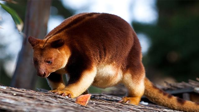Gambar 1. Kanguru Pohon Bulu Emas