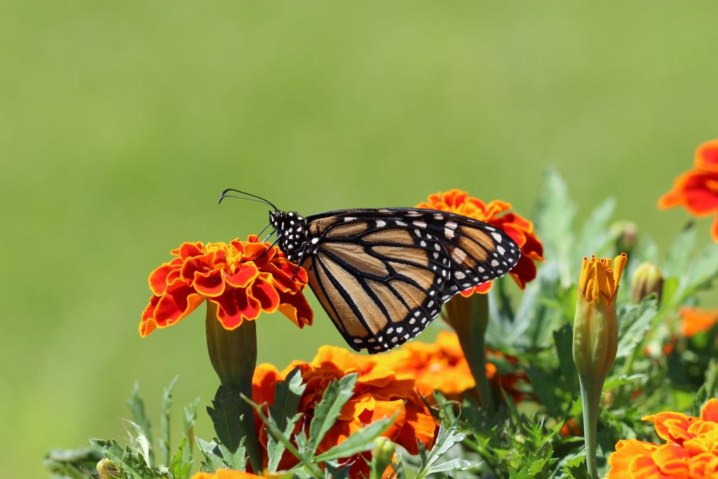 Monarch Butterfly Perched on Marigold Flower © Katie Burandt