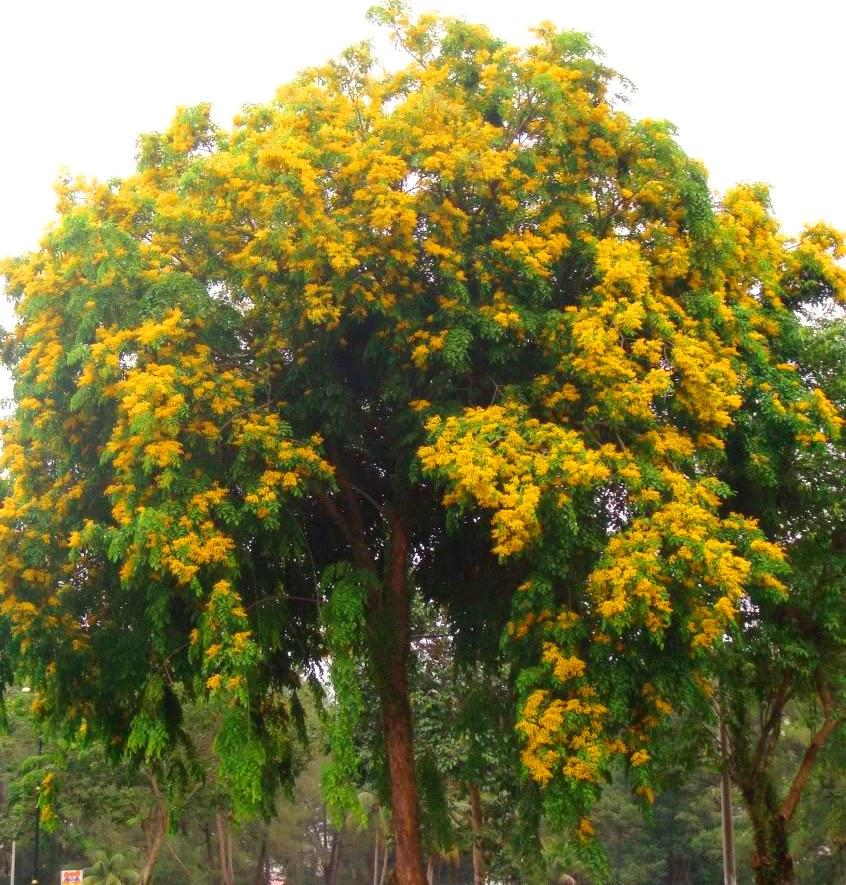 Gambar 1. Pohon Angsana