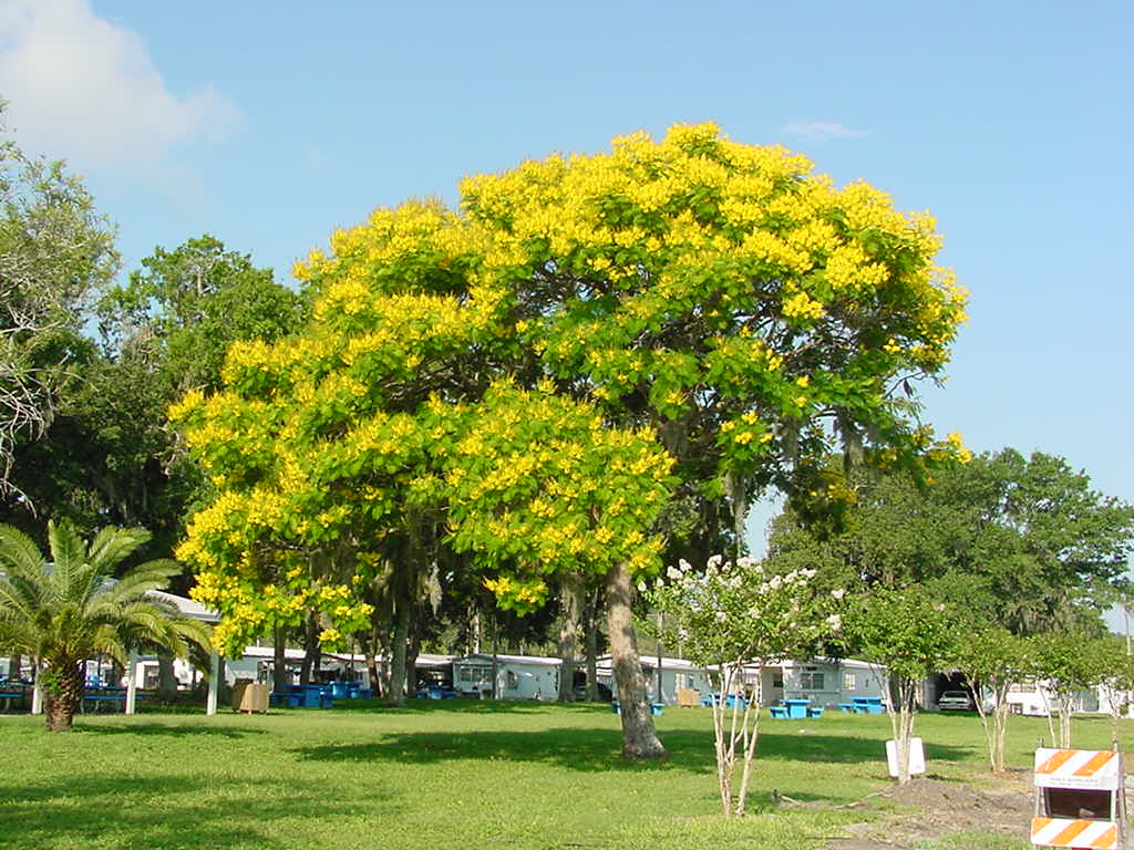 Gambar 1. Pohon Soga