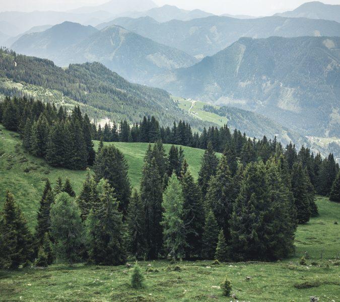 Pohon Cemara dan Pohon Pinus Hampir Sama