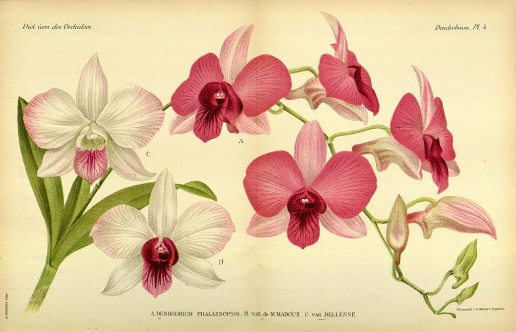 Gambar 2. Illustration of Dendrobium phalaenopsis