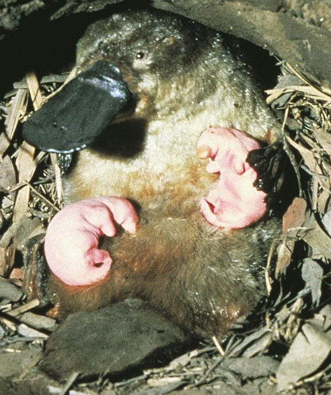 Gambar 2. Bayi Platipus