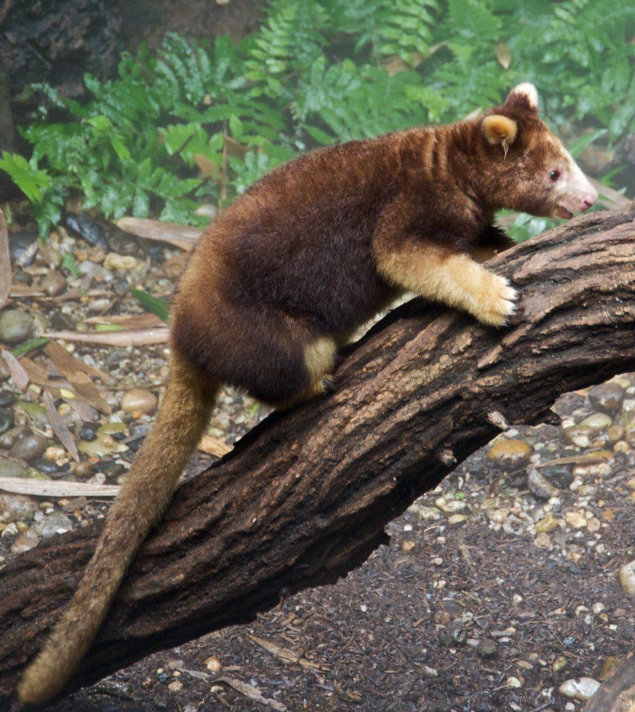 Gambar 2. Kanguru Pohon Endemik Papua