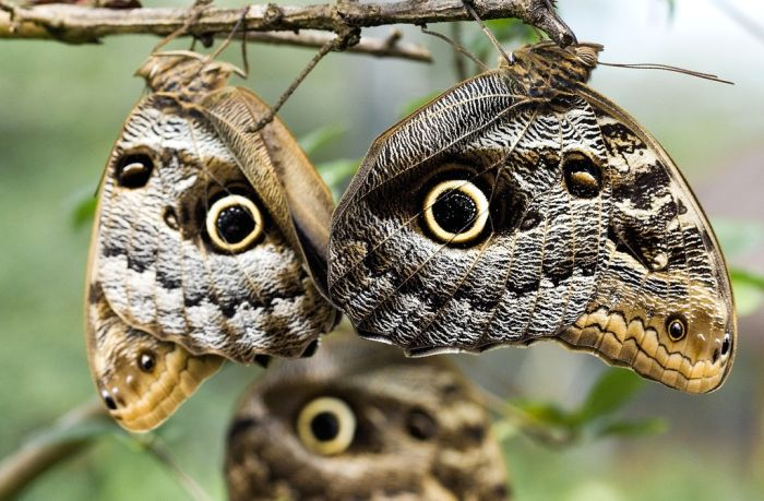 Gambar 2. owl butterfly