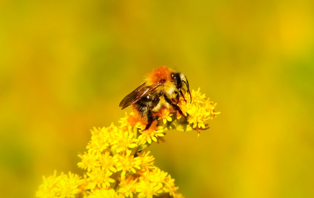 Worker Bee Perched on Flower During Daytime © Krzysztof Niewolny