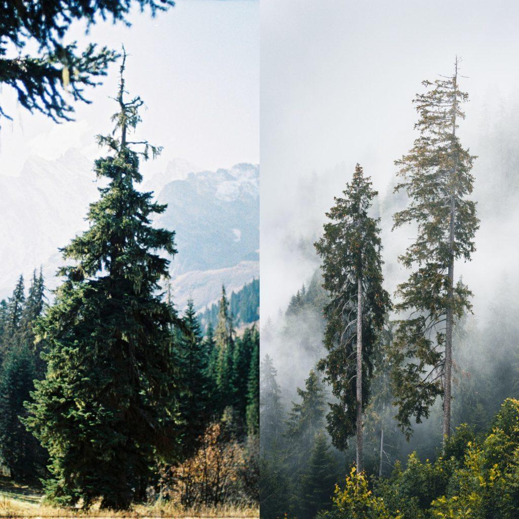 Gambar 3. Bagian kiri bentuk pohon cemara. Bagian kanan bentuk pohon pinus