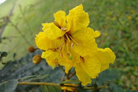 Gambar 4. Bunga Soga
