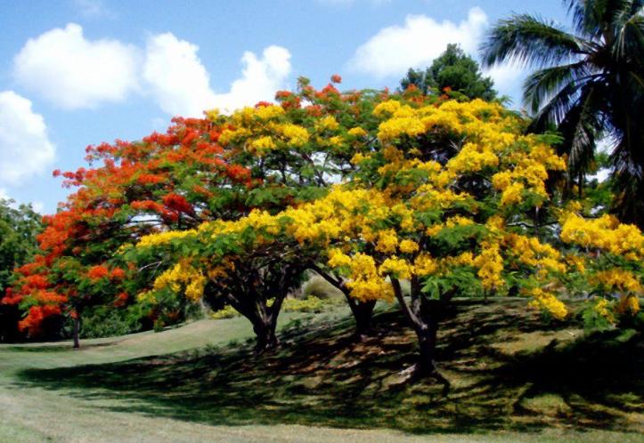 Gambar 5. Pohon Soga Sebagai Pohon Hias
