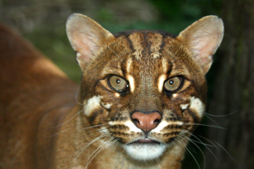 Garis muka yang cantik pada Catopuma temminckii (Photo credit: Giant Eland, zoochat.com)