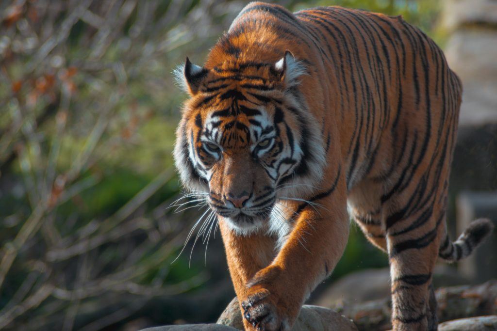 Gambar 1. Harimau