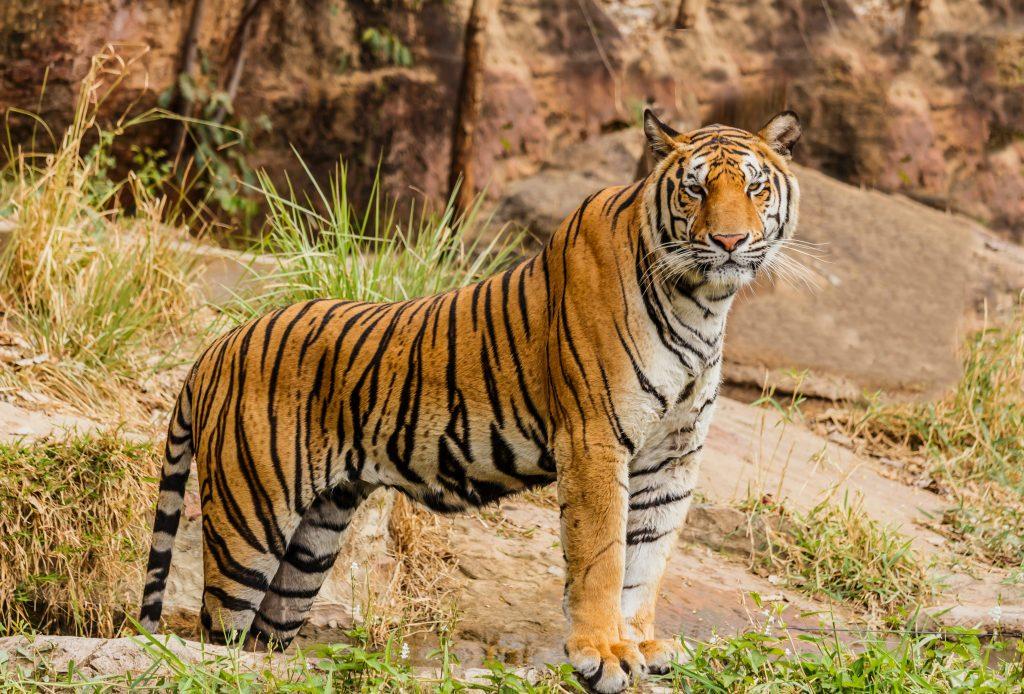 Gambar 3. Pentingnya Harimau Bagi Ekosistem Hutan