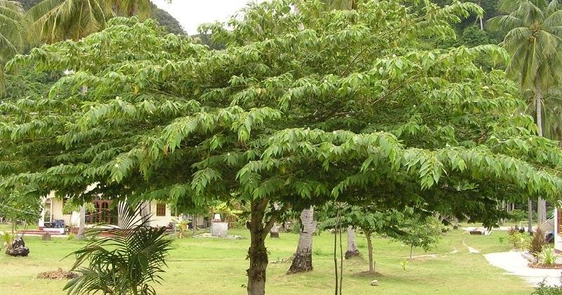 Gambar 1. Pohon Kersen