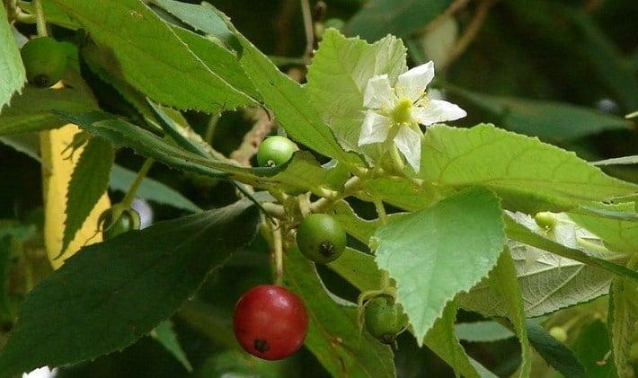 Gambar 2. Daun, bunga, dan buah tanaman kersen