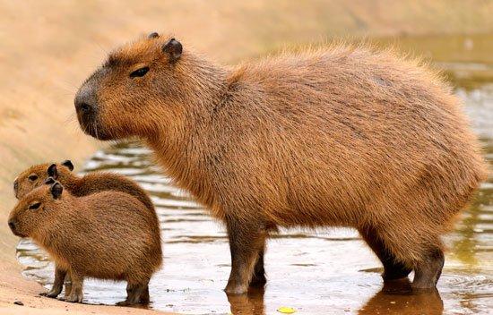Gambar 1. Kapibara