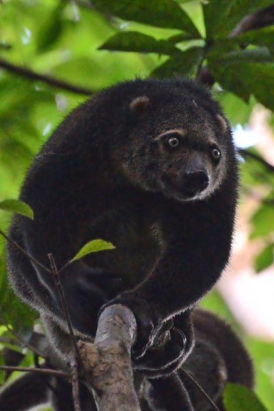 Kuskus Beruang, © wikipedia.com