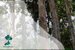 Sonokeling, Pohon Kayu Cantik yang Perlahan Menghilang