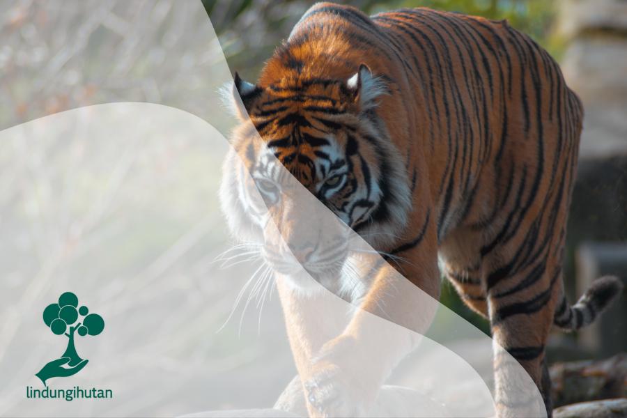 Apa yang Terjadi Jika Spesies Harimau Punah?