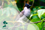 Mengenal Burung Kutilang