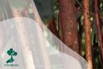 Selayang Pandang Tanaman Kayu Manis (Cinnamomum burmanii)