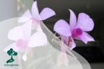 Sekilas Pandang Bunga Anggrek Larat (Cooktown Orchid)