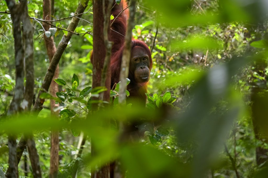 Gambar 1. Orangutan, Satwa yang Mulai Terancam di Kalimantan