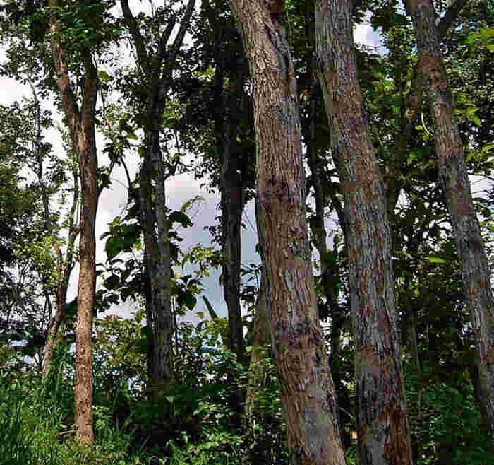 Pohon Sonokeling © wikipedia