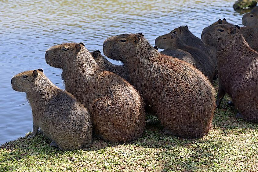 Gambar 4. Sekelompok Kapibara