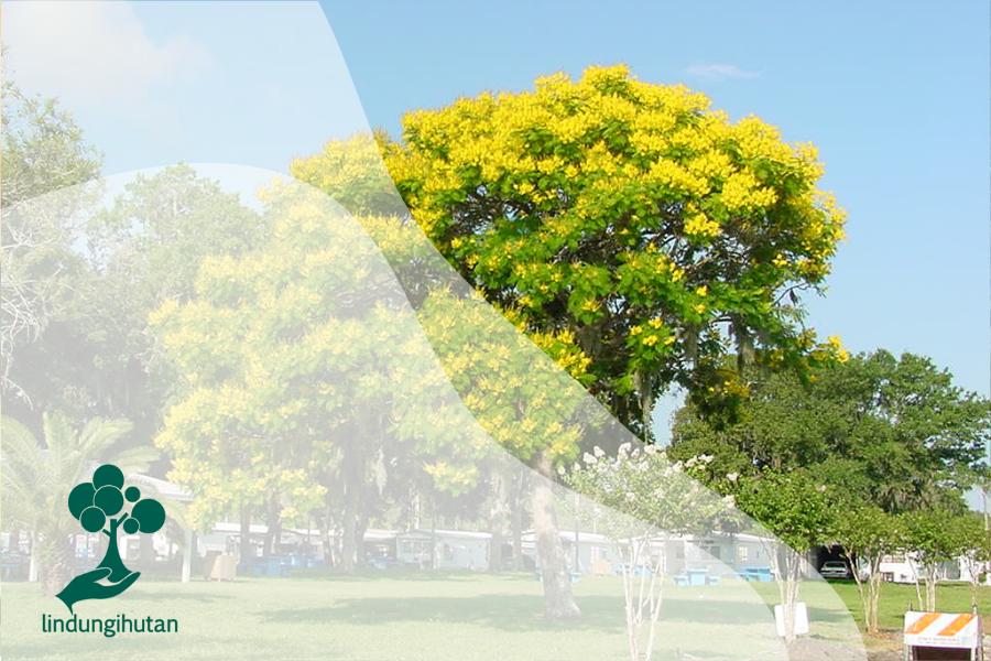 Pohon Soga: Pewarna Alami Dengan Bunga Yang Indah