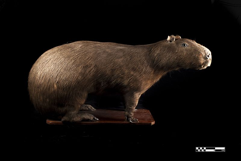 Gambar 2. Spesimen Kapibara