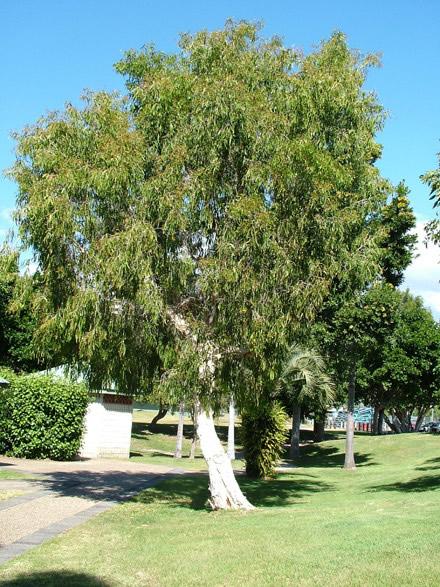 Gambar 1. Tanaman Kayu Putih. Sumber: caretransplanters.com.au