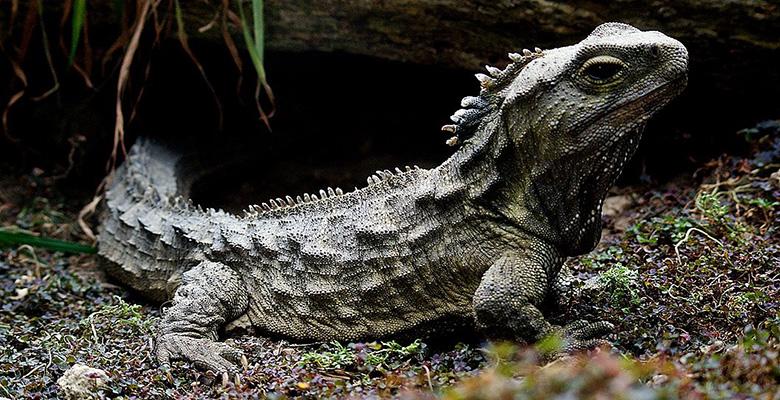 Gambar 8. Tuatara, reptil