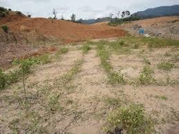 Gambar 3: Cover crop di lahan bekas tambang