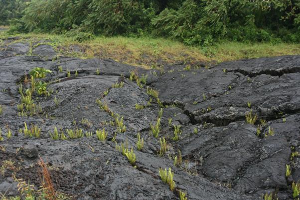 Gambar 3. Tumbuhan di Atas Lahar Dingin © Wikiwand